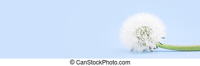 Dandelion is isolated on a blue background. Banner. Copy cpace