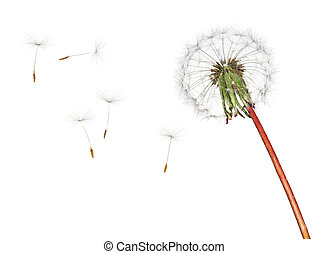 Dandelion and floating seeds isolated on white background.