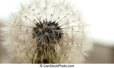 dandelion macro 4k