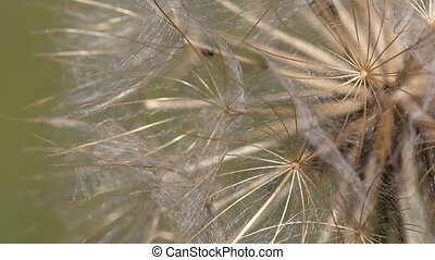 dandelion macro detail