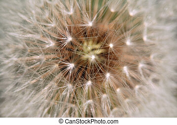 Dandelion macro - detail of  seeds with shallow DOF