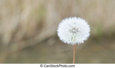 Dandelion - Mature dandelion blow away on brown background