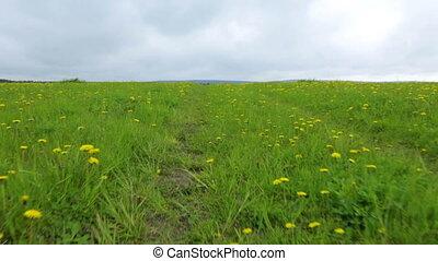 Dandelion meadow summer day view