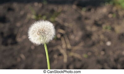 Dandelion moving around outdoors. Shot from hands, slow...