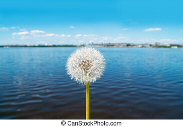 Dandelion on a background of water