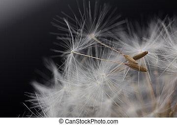 dandelion on a black background. macro