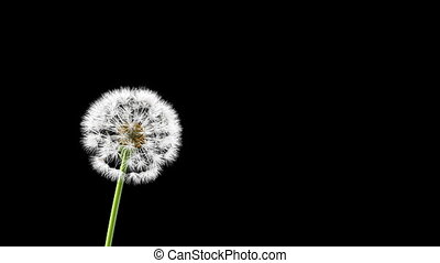 Dandelion on a blue background, 3d animation