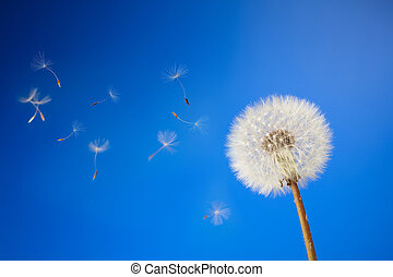 dandelion on a blue background