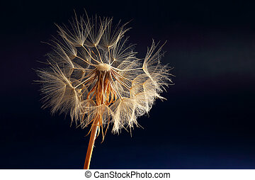 dandelion on a dark blue background