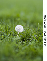 Dandelion on a magnificent green lawn