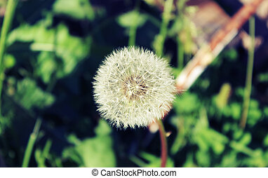 Dandelion on a sunny summer day
