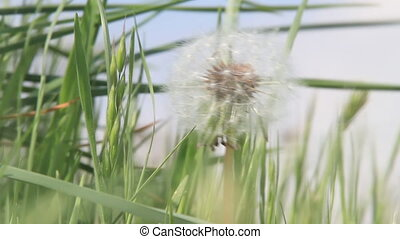 Dandelion on a windy day