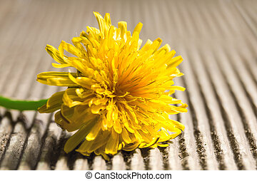 Dandelion on a wooden background.