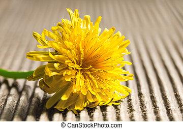 Dandelion on a wooden background.