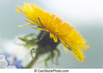 Dandelion on blue bright background