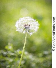 Dandelion on green background.