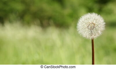 Dandelion on meadow