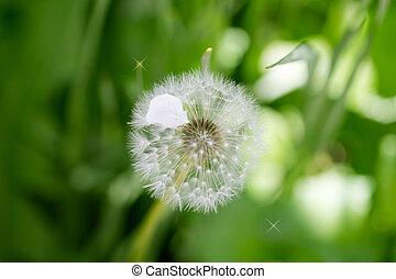 dandelion on nature