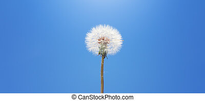 Dandelion on sky background.