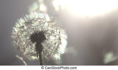 Dandelion on Sunny Meadow - Flying dandelion seeds against...