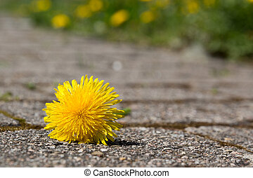 dandelion on the ground