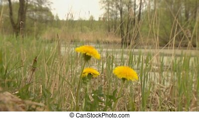 Dandelion on the shore of a pond. Swamp and lake. Natural shooting.