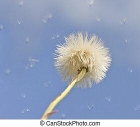 Dandelion on the sky