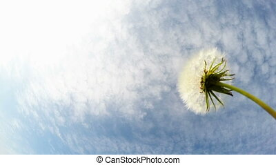 Dandelion on the wind and blue sky in the background