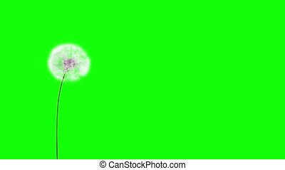 Dandelion on the wind (GreenScreen)