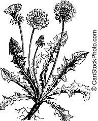 Dandelion or Taraxacum, vintage engraved illustration. Usual Medicine Dictionary by Dr Labarthe - 1885.