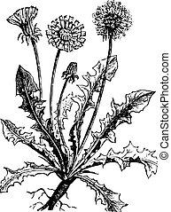 Dandelion or Taraxacum, vintage engraving.
