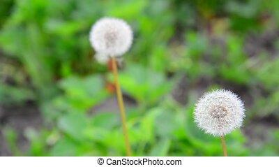 Dandelion ordinary in meadow - dandelion ordinary in a...