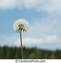 dandelion over blue sky background