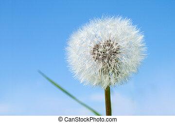 Dandelion over blue summer sky