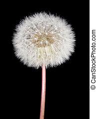 Dandelion - Fluffy dandelion on the dark background