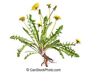Dandelion (taraxacum officinale) isolated on white...