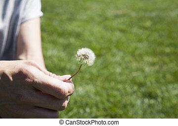 dandelion plant in woman hand
