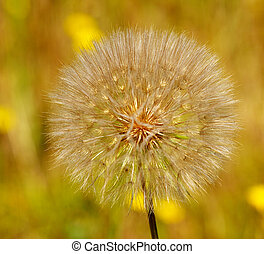 Dandelion puffs - dandelion ready to explode its seed out...