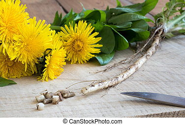 Dandelion root, with dandelion flowers and leaves in the ...