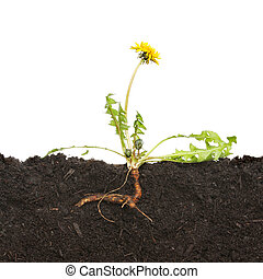 Dandelion - Section through soil with a dandelion weed and ...