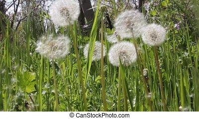 Dandelion Seed blowing in nature