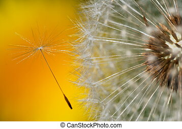 Detail of dandelion seed leaving the head