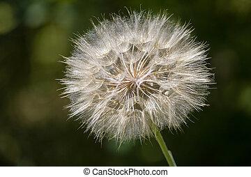 Dandelion Seed Head - Dandelion. Dandelion fluff. Dandelion...