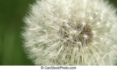Dandelion Seed Head. - Dandelion Seed Head ,on blurry...