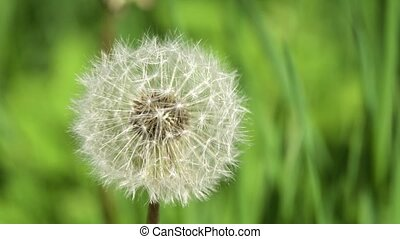 Dandelion Seed Head. - Dandelion Seed Head ,on blurry...