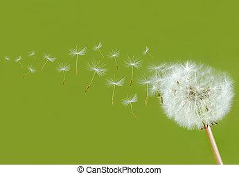 dandelion seed head bevor green background