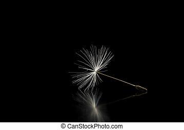 Dandelion seed on black background
