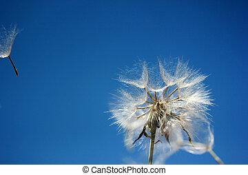 Dandelion Seed