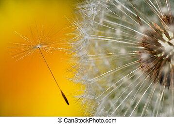 Dandelion seed - Detail of dandelion seed leaving the head