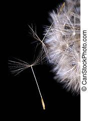 Dandelion seed (teraxacum ruderalia) 2